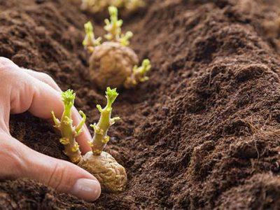 Ausgekeimter Kartoffel wird in die frisch geharkte Erde gepflanzt.