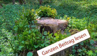 Abgesägter Baumstumpf blüht neu auf