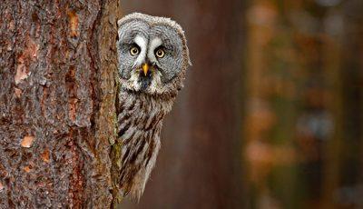 Eine Eule schaut hinter einem Baum hervor mit Ihren schönen, gelben Augen.